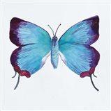 Butterfly Collection Poritia Enycinoides
