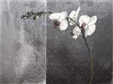 Phalaenopsis Left