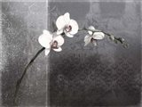 Phalaenopsis Right