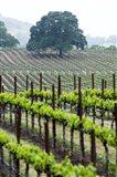 Oak and Vines