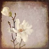 Paper Magnolia Duo