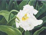 White Tulip Perth1