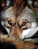 The Wise Coyote