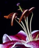 Hot Pink Lily Closeup