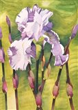 Forest Iris