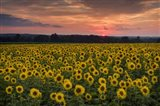 Taps over Sunflowers