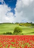 Tuscan Poppies - Vertical