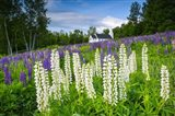 Lupines At Sugar Hill