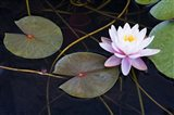 Pink Water Lily-2