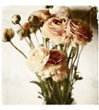Floral Ranunculus White Soft No Darks