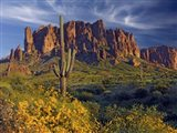 Lost Dutchman flowers