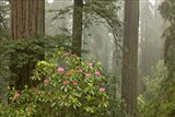Redwood Fog Rhododendrons