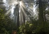 Redwoods NP Ladybird Johnson Lightbeam