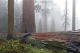 Sequoia Fallen Giant