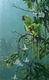 Buffons Macaws