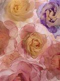 Rosas Compo 2-2