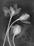 3 Tulipanes