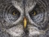 Great Grey Owl Totem