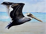Large Pelican
