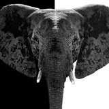 Safari Profile Collection - Elephant B&W IV