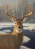 White Tail Deer Portrait