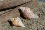 Two Shells Driftwood
