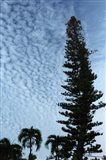 Cedar Palm Sky Vertical