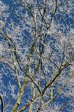 Ice Storm Branches