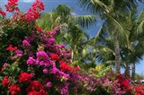 Palm Bougainvillea 9280