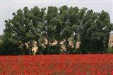 Tuscan Treeline Poppies