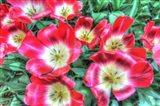 Open Poppies
