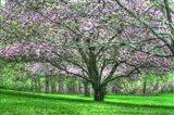 Mauve Blossom Trees