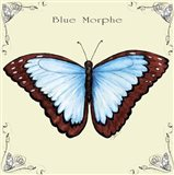 Butterfly Blue Morphe