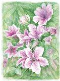 Pink Azaleas Watercolor