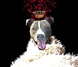 Royal Love Pup - Pit Bull Terrier