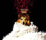 Royal Love Pup - Sheltie