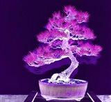 Purple Flame Bonsai