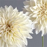 2 Cream Dahlias on Gray