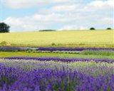 English Lavender Field 2