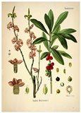 Thymelaeaceae