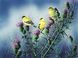 American Goldfinch And Thistle