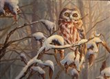 Sawwhet Owl