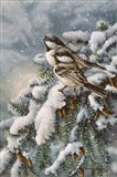 Chickadee In Spruce