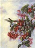 Hummingbird C