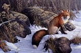 Mid Winter Pause - Red Fox
