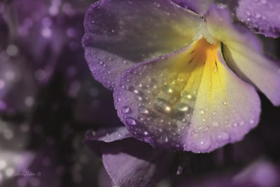 Purple Pansy Poster by Lori Deiter for $43.75 CAD