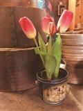Tulip Simplicity