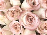 Top View - Pink Roses