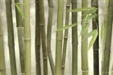 Backlit Bamboo I