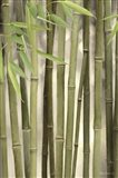 Backlit Bamboo II